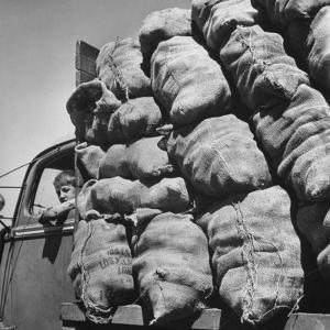 Boy Driving Truck Carrying Load of Potatoes by George Strock
