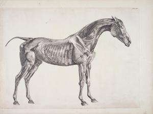 """Plate from """"The Anatomy of the Horse"""", C.1766 by George Stubbs"""
