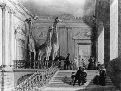 Giraffes on the Staircase in the British Museum, 1845