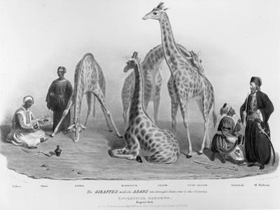 Giraffes with the Arabs Who Brought Them over to Here, Zoological Gardens, Regent's Park, 1836