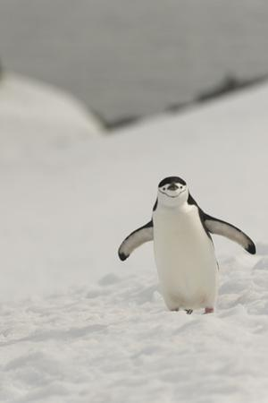 Antarctica, Chinstrap, Penguin by George Theodore