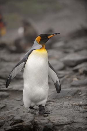 Antarctica, King Penguin, walking