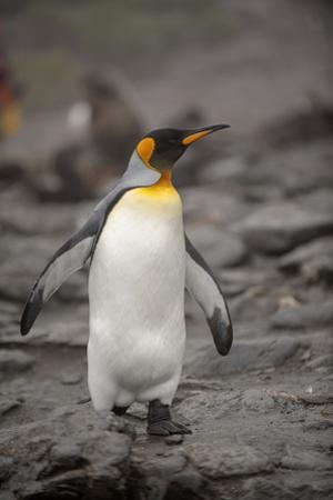 Antarctica, King Penguin, walking by George Theodore