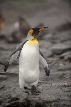Antarctica, King Penguin, walking by George Theodore