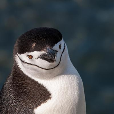Antarctica, penguin, headshot by George Theodore
