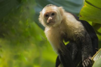 Costa Rica, monkey, spider monkey, tree by George Theodore