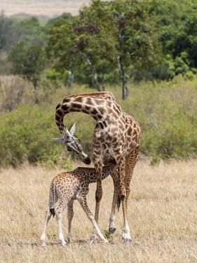 Kenya, Giraffe, mother, baby feeding by George Theodore