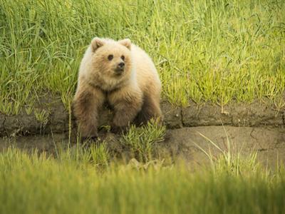USA, Alaska, Grizzly Bear Cub by George Theodore