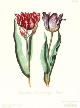 Tulipa Cultivar by George Wolfgang Knorr