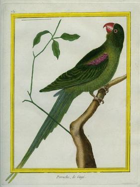 Alexandrine Parakeet by Georges-Louis Buffon