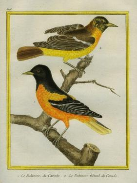 Baltimore Oriole and the Crossbred Baltimore Oriole by Georges-Louis Buffon