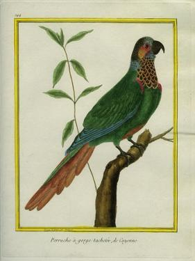 Brown-Throated Parakeet by Georges-Louis Buffon