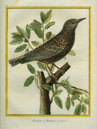 French Starling