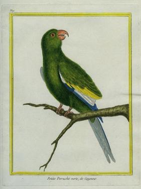 Green Parakeet by Georges-Louis Buffon