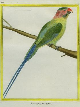 Long-Tailed Parakeet by Georges-Louis Buffon