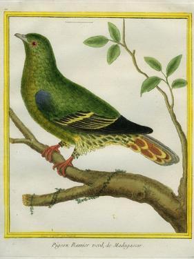 Madagascar Green Pigeon by Georges-Louis Buffon