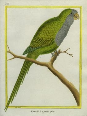 Monk Parakeet by Georges-Louis Buffon