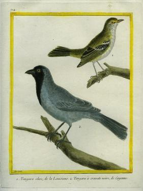 Olive-Green Tanager and Black-Chinned Antbird by Georges-Louis Buffon