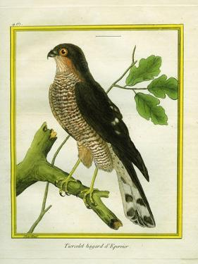 Sparrowhawk by Georges-Louis Buffon