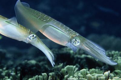 Bigfin Reef Squid by Georgette Douwma