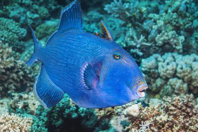 Blue Triggerfish (Pseudobalistes Fuscus). Egypt, Red Sea. Indo-Pacific by Georgette Douwma