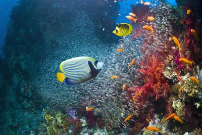 Coral Reef with Emperor Angelfish by Georgette Douwma