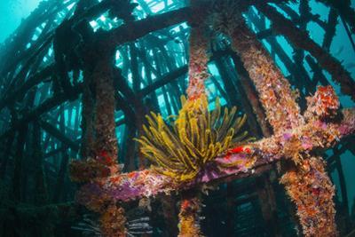 Crinoid (Crinoidea) on Artificial Reef. Mabul, Malaysia by Georgette Douwma