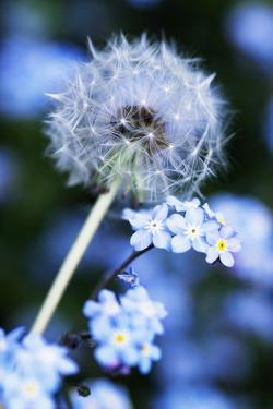 Dandelion Seed Head by Georgette Douwma