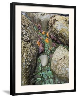 Giant Green Anemones, and Ochre Sea Stars, Exposed on Rocks, Olympic National Park, Washington, USA by Georgette Douwma