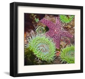 Giant Green Anemones, and Ochre Sea Stars, Olympic National Park, Washington, USA by Georgette Douwma