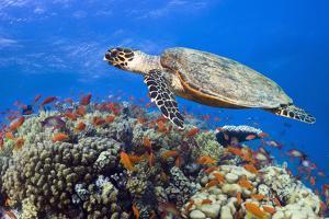 Hawksbill Sea Turtle by Georgette Douwma