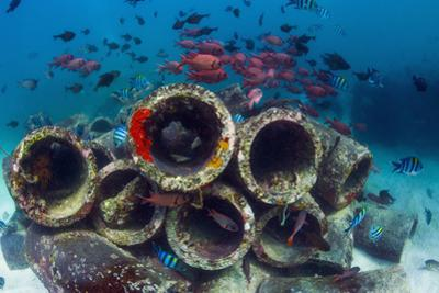 Mixture of Soldierfish (Myripristis) over Cement Pipes in Artifical Reef, Mabul, Malaysia by Georgette Douwma