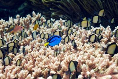 Palette Surgeonfish Over Coral by Georgette Douwma