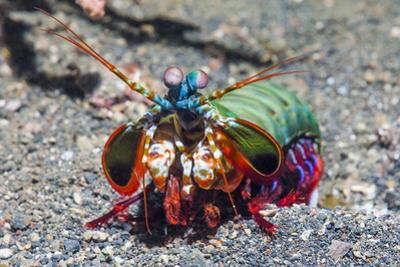 Peacock Mantis Shrimp (Odontodactylus Scyllarus) Lembeh Strait, Sulawesi, Indonesia by Georgette Douwma