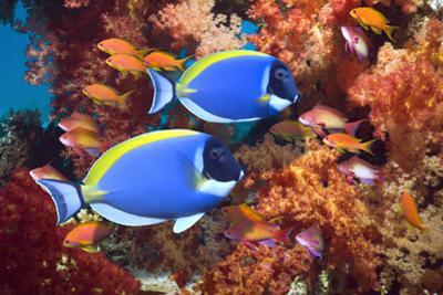 Powder-Blue Surgeonfish by Georgette Douwma