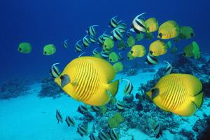 School of Butterfly Fish Swimming on the Seabed by Georgette Douwma