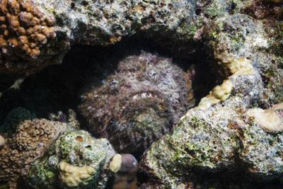 Stonefish (Synanceia Verrucosa) Well Camouflaged Overgrown With Algae by Georgette Douwma
