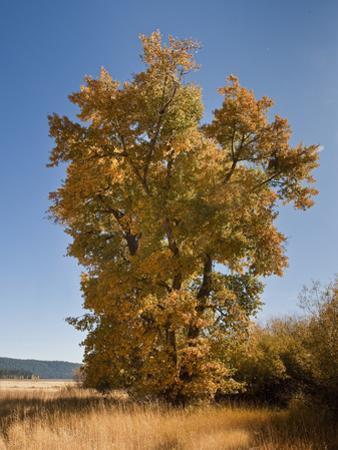 Black Cottonwood or Balsam Poplar in Autumn Color (Populus Balsamifera Trichocarpa), Chester by Gerald & Buff Corsi