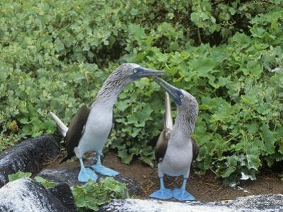 Blue-Footed Boobies Courtship Display, Sula Nebouxi, Galapagos by Gerald & Buff Corsi