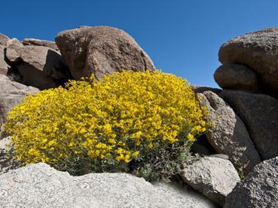 Brittlebush (Encelia Farinosa), Joshua Tree National Park, Mojave Desert, California, USA by Gerald & Buff Corsi