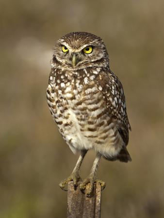 Burrowing Owl (Athene Cunicularia), Cape Coral, Florida, USA by Gerald & Buff Corsi