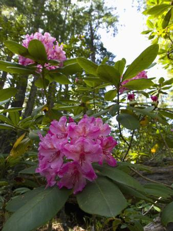 California Rhododendron, Rhododendron Macrophyllum, Kruse Rhododendron Reserve by Gerald & Buff Corsi