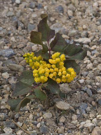 Creeping Oregon Grape (Berberis Aquifolium Repens) Great Basin National Park, Nevada by Gerald & Buff Corsi