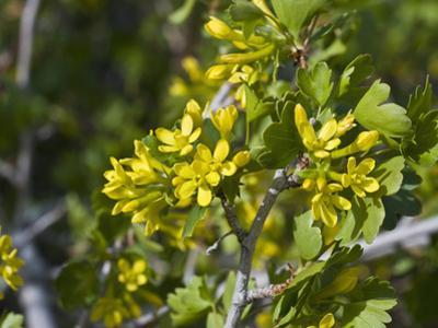 Golden Currant (Ribes Aureum) Snake Creek Valley, Great Basin National Park, Nevada, USA by Gerald & Buff Corsi