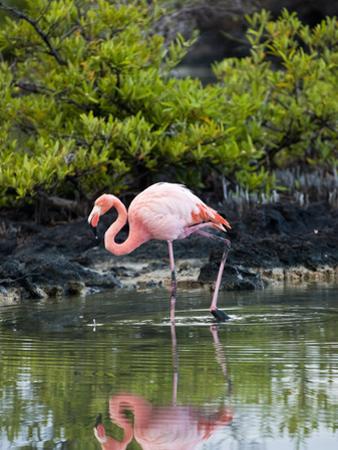 Greater Flamingo (Phoenicopterus Ruber) Santa Cruz Island, Indefatigable Island, Galapagos Islands by Gerald & Buff Corsi