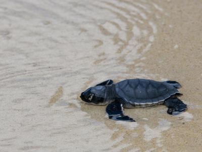 Green Sea Turtle Hatchling (Chelonia Mydas Agassizi), Galapagos Islands by Gerald & Buff Corsi