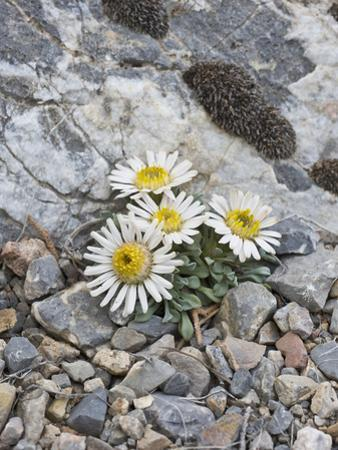 Ground or Tufted Townsend Daisy (Townsendia Scapigera) by Gerald & Buff Corsi