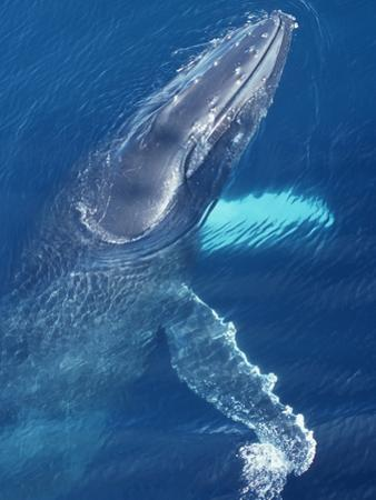 Humpback Whale at the Surface Showing its Head and Pectoral Fins (Megaptera Novaeangliae) by Gerald & Buff Corsi