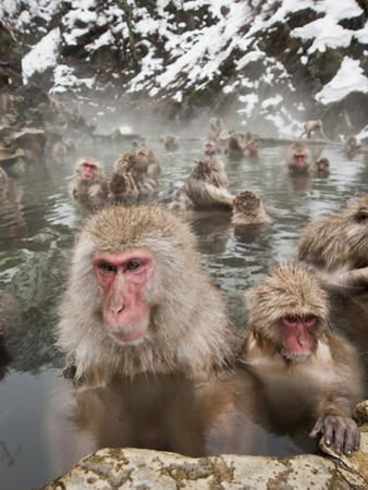Japanese Macaque or Snow Monkeys (Macaca Fuscata) with Young in a Hot Spring, Jigokudani Park by Gerald & Buff Corsi