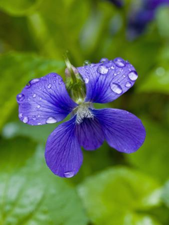 Marsh Blue Violet (Violcucullata) by Gerald & Buff Corsi